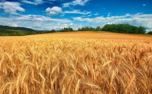bonito-campo-de-trigo-bajo-el-cielo-azul-