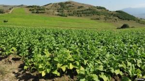 Un campo de tabaco en la provincia de Tavush.