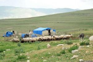 ovejas-armenia